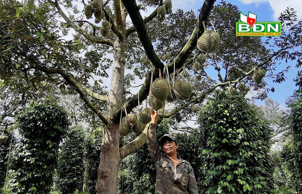 , Chuyện lạ tại Đắk Nông, 36 cây sầu riêng thu 500 triệu đồng, Đơn vị phân phối và phát triển Bất động sản | An Tường Real, Đơn vị phân phối và phát triển Bất động sản | An Tường Real