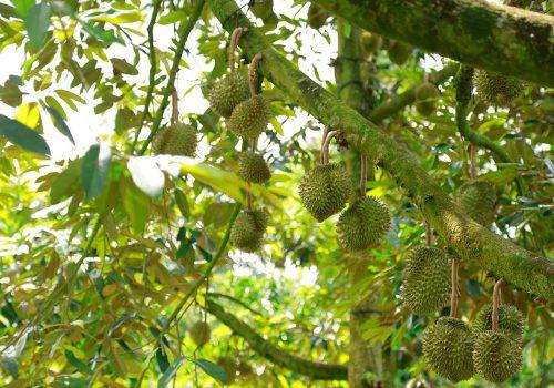 Chăm sóc cây sầu riêng ngập măn
