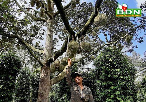 Chuyện lạ Dak Nông - 36 cây sầu riêng thu về 500 triệu đồng