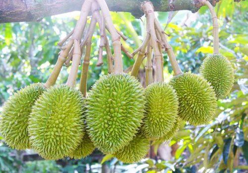 Kỹ thuật trồng cây sầu riêng tại trang trại Tân Lâm Nguyên