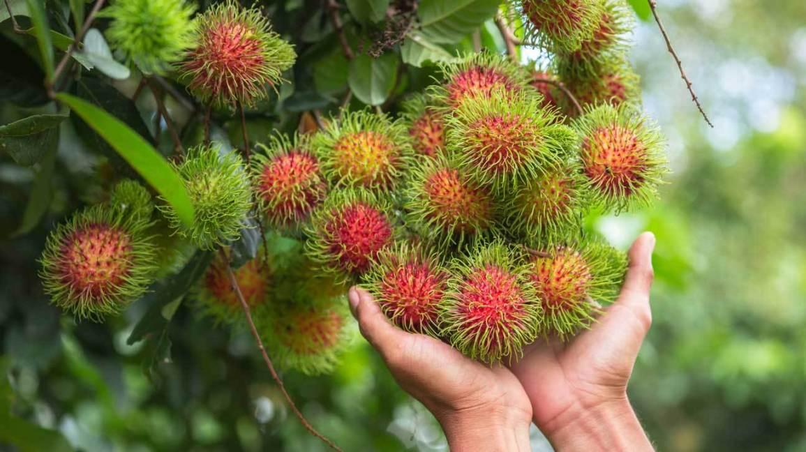 Chôm chôm: Một loại trái cây ngon với nhiều lợi ích sức khỏe