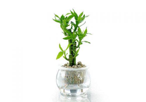 Trúc phú quý là một trong những loại cây phong thủy được yêu thích nhất.