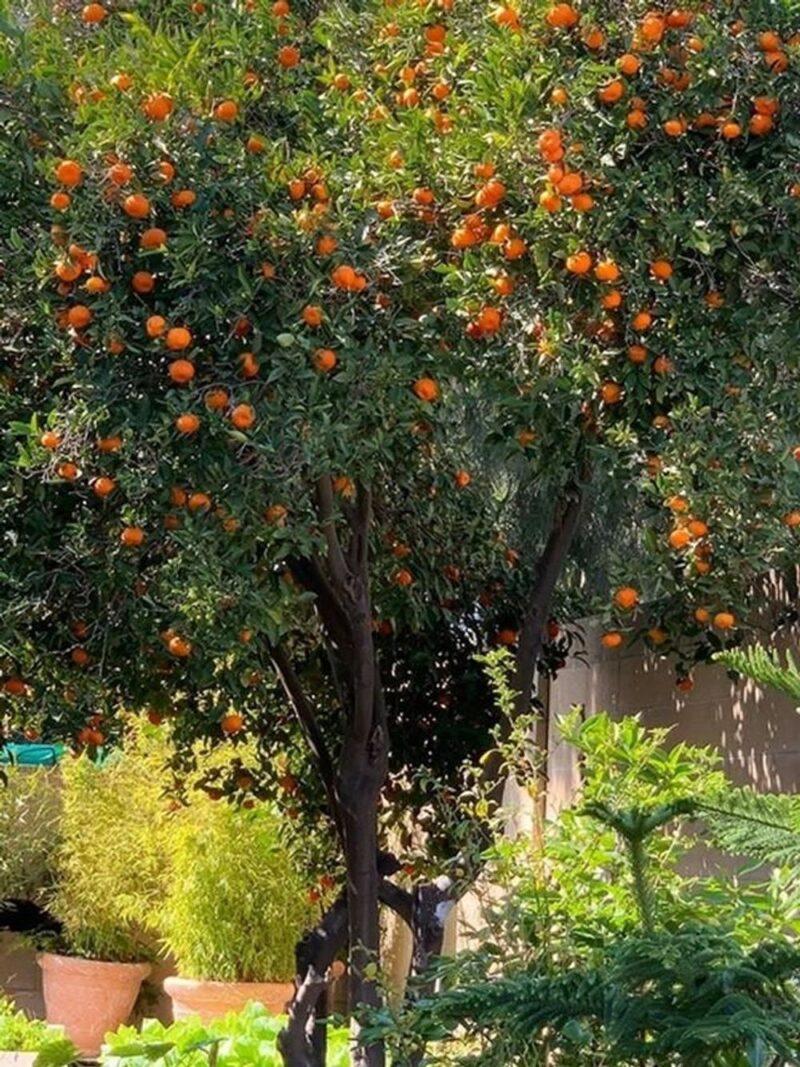 Sân vườn thì đâu chỉ trồng các loại cây cảnh mà trồng cây ăn trái cũng được chứ bộ