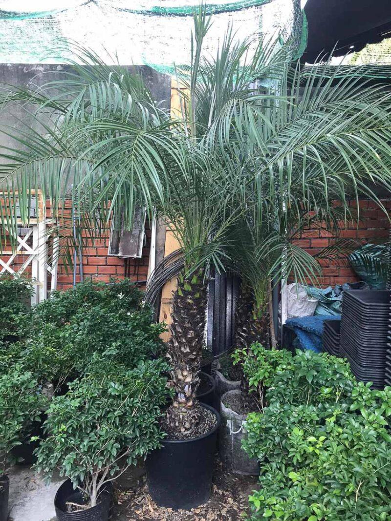 """Cau nga mi là loại cây """"sang chảnh"""" để trang trí sân vườn biệt thự"""