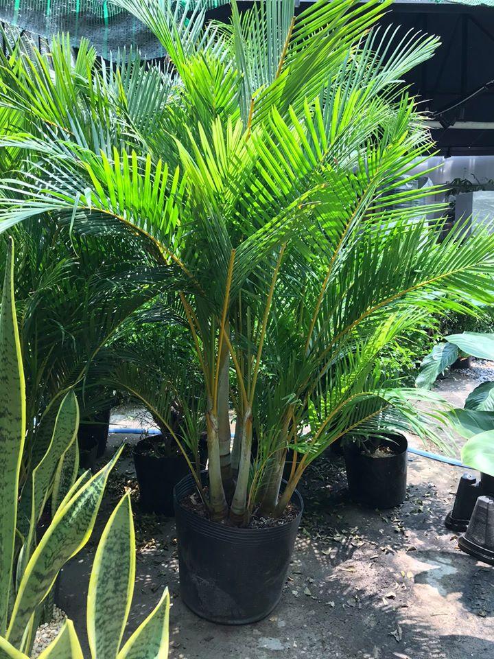Cau vàng Đài Loan là loại cây thích hợp trang trí cả trong nhà và ngoài trời