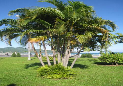 Hàng dừa cảnh trang trí cho sân vườn