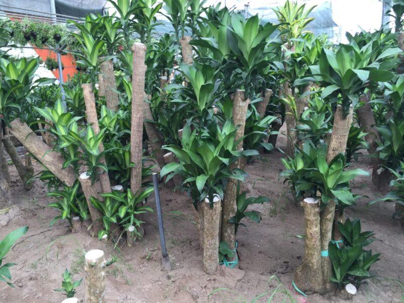 Thiết mộc lan có giá thành tương đối rẻ và rất dễ tìm ở các vựa cây trên cả nước