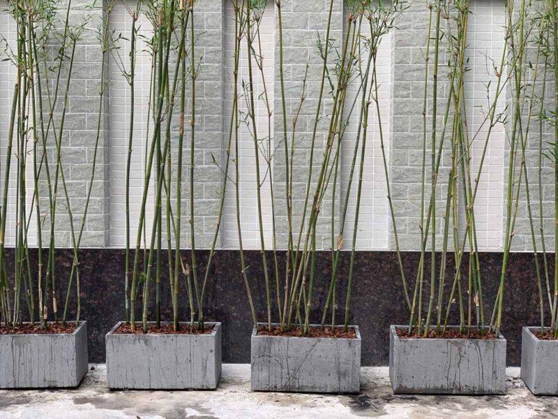Trúc cần câu được trồng trong chậu xi măng đá mài chữ nhật độc đáo, là lựa chọn hàng đầu để dùng làm cây trang trí sân vườn