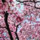 Hoa mộc lan có nguồn gốc từ Trung Quốc, Nhật Bản nhưng đã được nhiều nhà vườn chuyên về cây cảnh nhân giống và thuần hóa để phù hợp với khí hậu Việt Nam